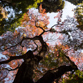 Photos: 【新宿御苑(下の池「一本カエデ」)】2