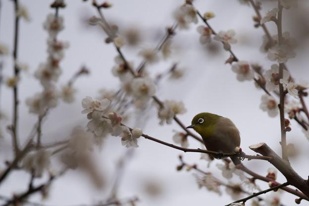 【新宿御苑(梅とメジロ)】2