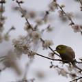 Photos: 【新宿御苑(梅とメジロ)】2