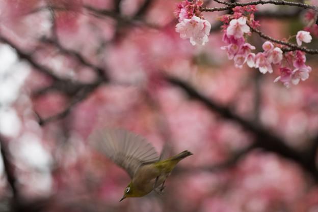 【新宿御苑(寒桜とメジロ)】3