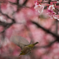 Photos: 【新宿御苑(寒桜とメジロ)】3