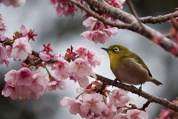 【新宿御苑(寒桜とメジロ)】11