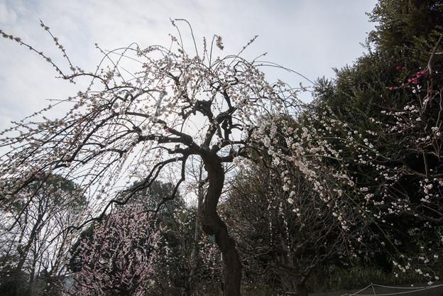 【大船植物園(高砂枝垂)】2