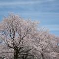 Photos: 【昭和記念公園「桜の園」満開の桜】3