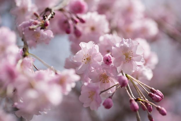 【昭和記念公園(八重しだれ桜)】3