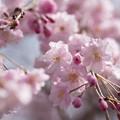 Photos: 【昭和記念公園(八重しだれ桜)】3