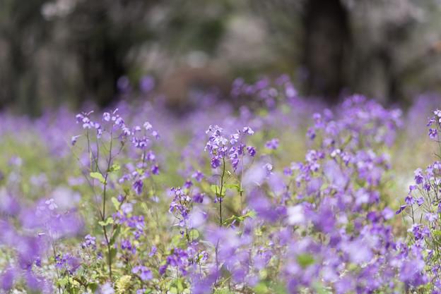 【昭和記念公園: 桜の園(ムラサキハナナ)】1