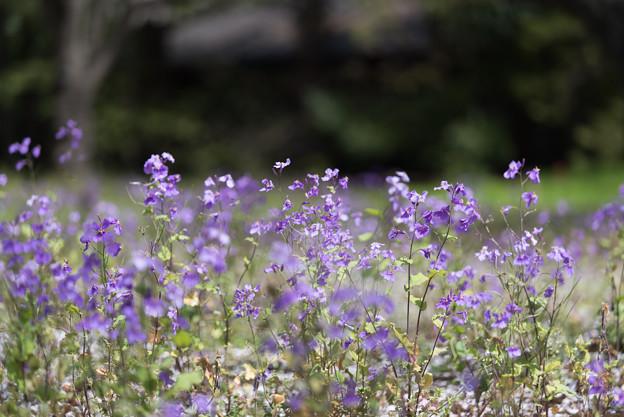 【昭和記念公園: 桜の園(ムラサキハナナ)】2