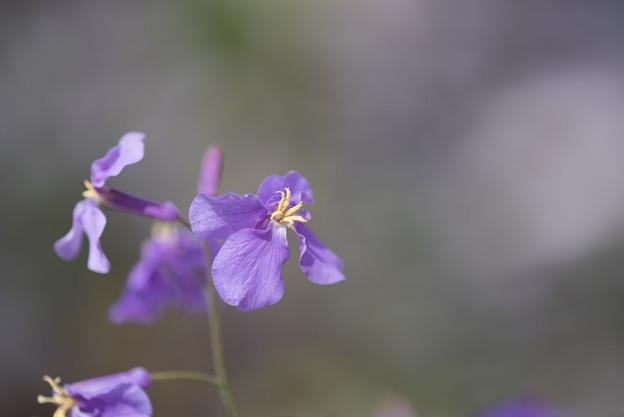 【昭和記念公園: 桜の園(ムラサキハナナ)】3