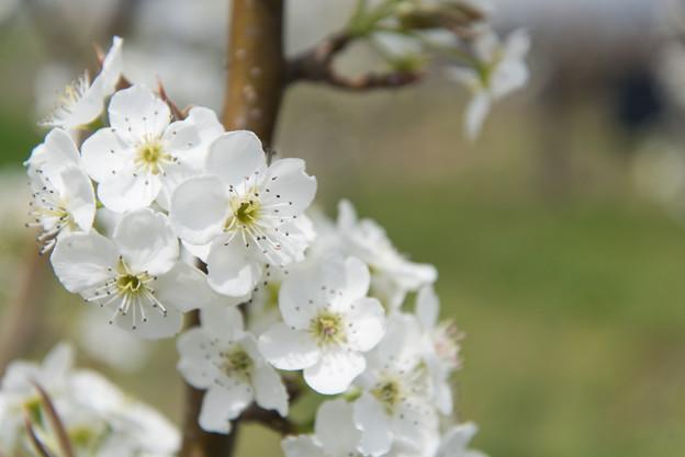 【花菜ガーデン(梨:新高)】