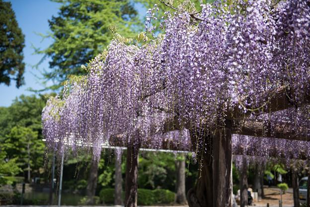 【薬師池公園(藤の花)】2