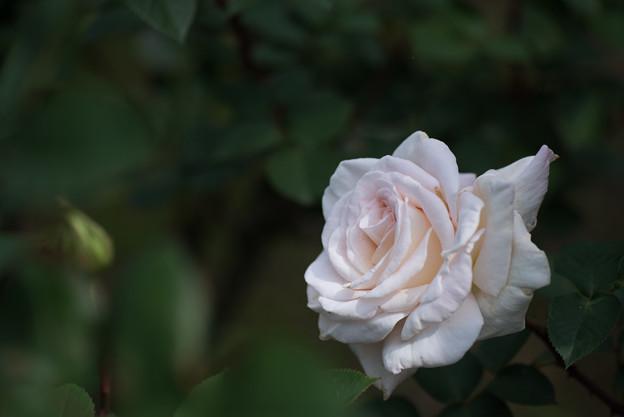 【大船植物園(ジャルダンド・バガテーュ)】系統:HT,作出年:1987年,作出国:フランス