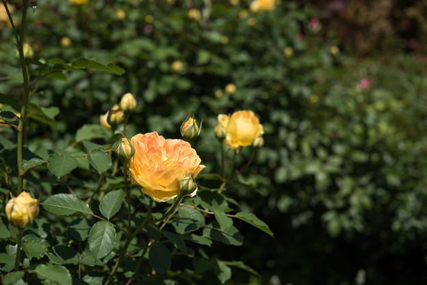 【花菜ガーデン(モリニュー)】2