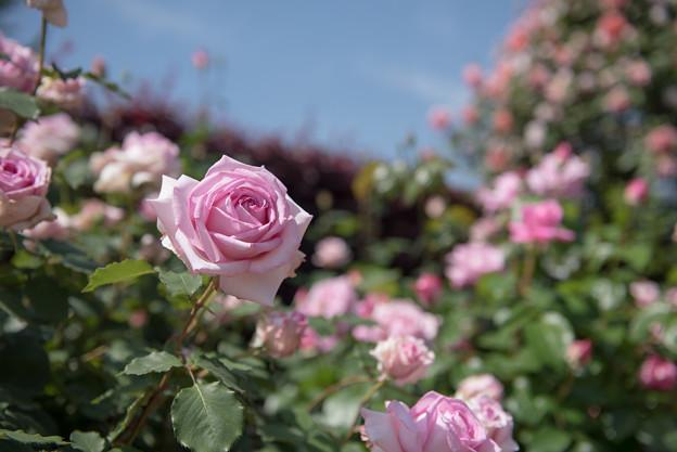 【花菜ガーデン(フラグラント・ヒル)】1