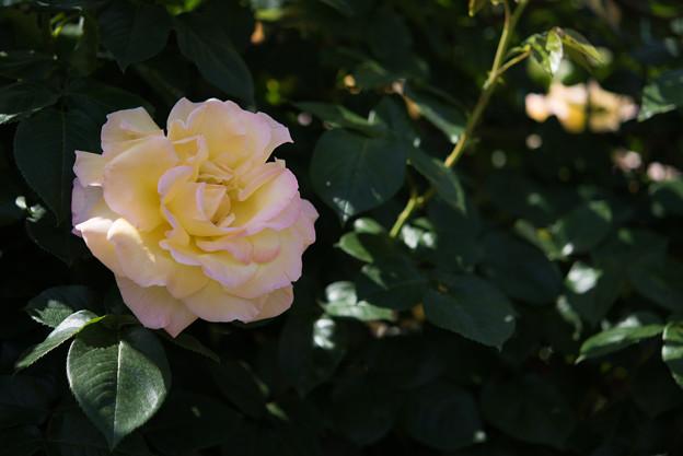 【花菜ガーデン(ピース)】4