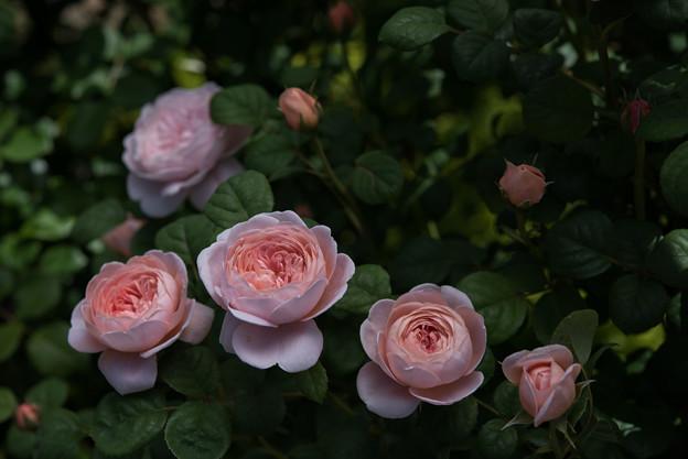 【花菜ガーデン(クィーン・オブ・スウェーデン)】