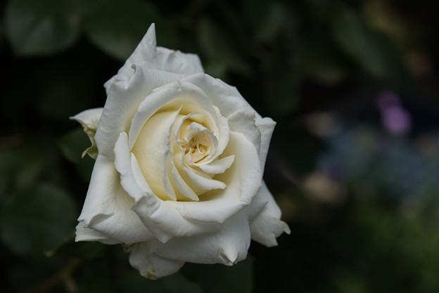 38【花菜ガーデン(ヨハネパウロⅡ世)】