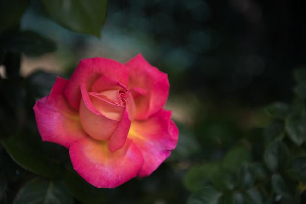 【花菜ガーデン(シカゴ・ピース)】