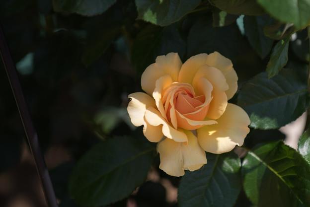 【花菜ガーデン(アンバークイーン)】