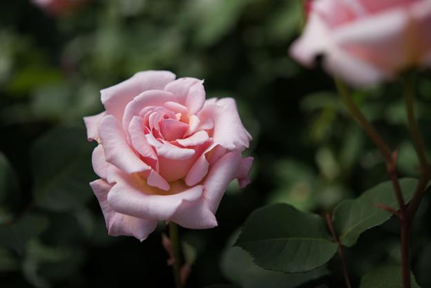 【花菜ガーデン(マダム・バタフライ)】