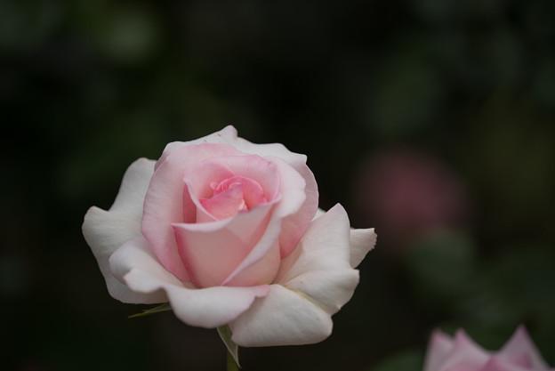 【生田緑地ばら苑(フラミンゴ)】3