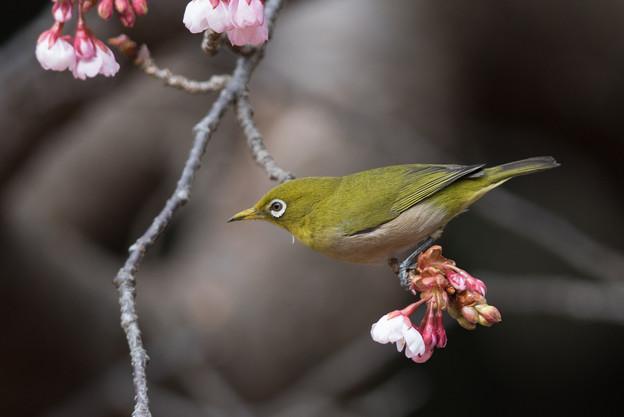 新宿御苑【メジロと寒桜】1-2