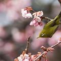 新宿御苑【メジロと寒桜】1-3