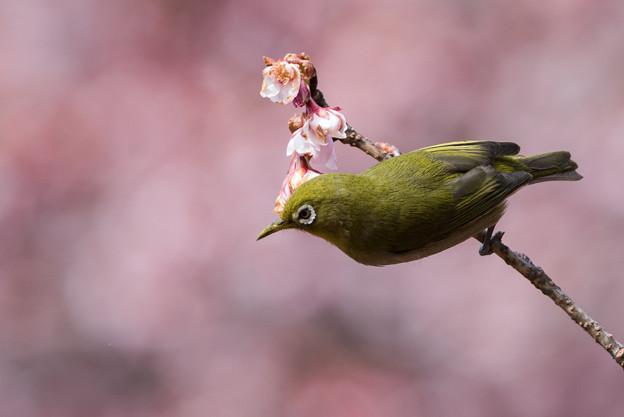 新宿御苑【メジロと寒桜】1-5