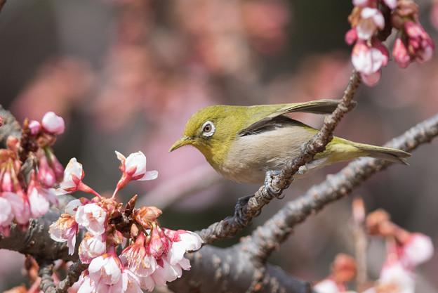 新宿御苑【メジロと寒桜】2-4