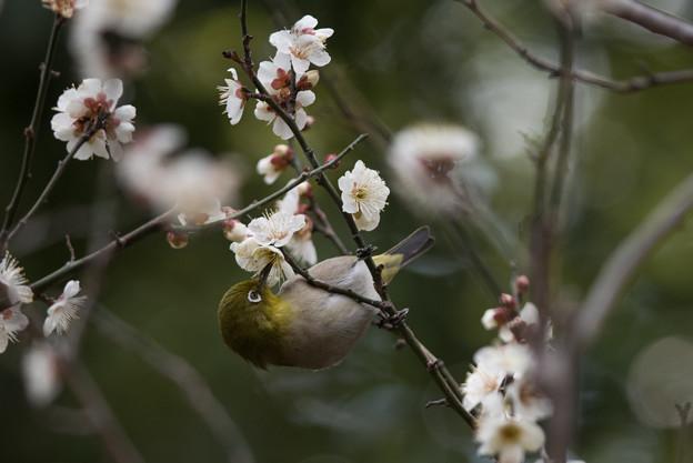 皇居東御苑【メジロと白梅】1-3