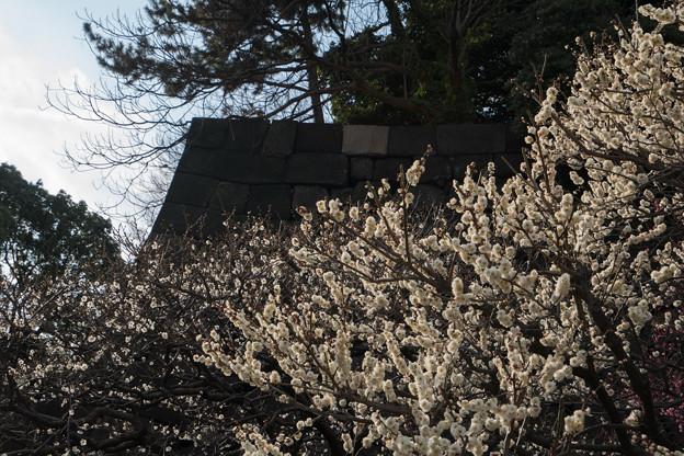 皇居東御苑【梅林坂の眺め:八重野梅】