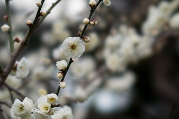 皇居東御苑【早咲き梅:八重野梅】1
