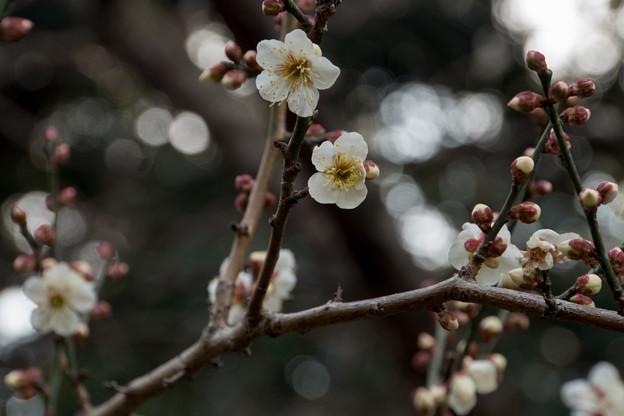 皇居東御苑【早咲き梅:冬至】1