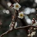 写真: 皇居東御苑【早咲き梅:冬至】1