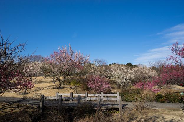 写真: 小田原フラワーガーデン【梅園の景色】3