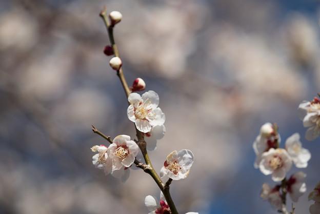 小田原フラワーガーデン【梅の花:十郎】3