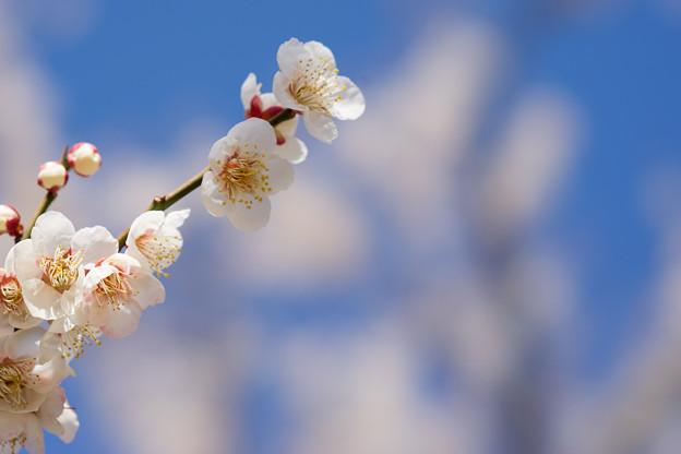 小田原フラワーガーデン【梅の花:十郎】4
