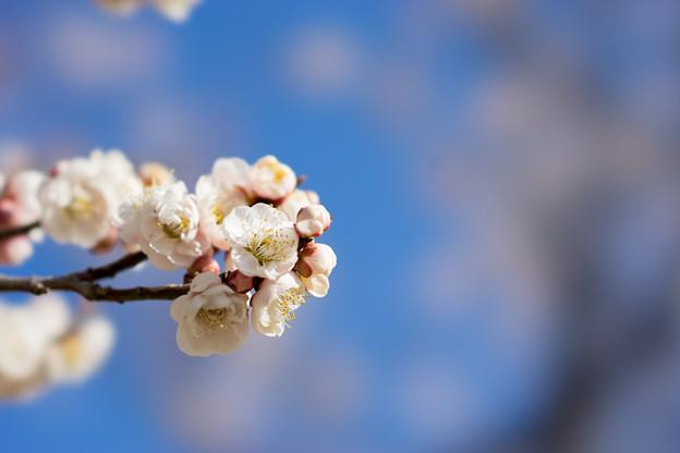 小田原フラワーガーデン【梅の花:淡路】3