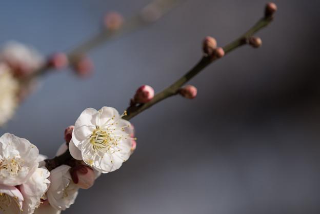 小田原フラワーガーデン【梅の花:淡路】4