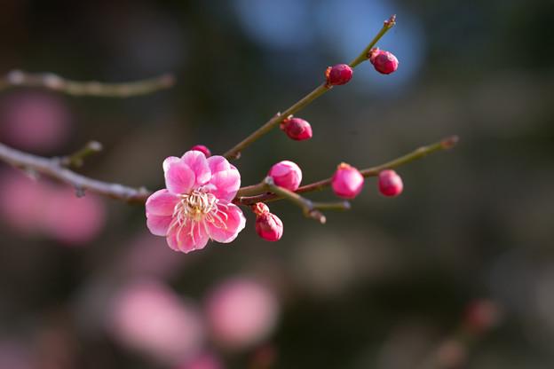 小田原フラワーガーデン【梅の花:鴛鴦】5