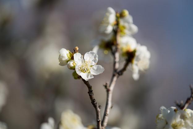 小田原フラワーガーデン【梅の花:一重緑萼】5