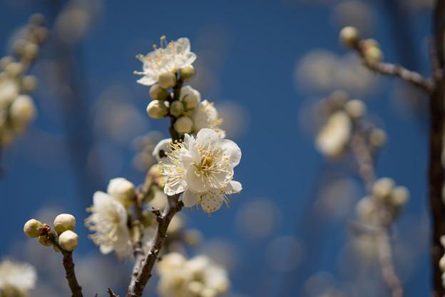 小田原フラワーガーデン【梅の花:緑萼】2