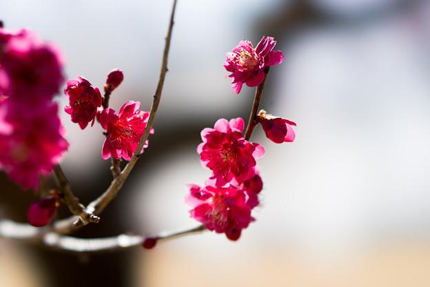 小田原フラワーガーデン【梅の花:黒雲】2