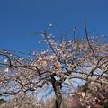 写真: 小田原フラワーガーデン【梅の花:黄門枝垂】2