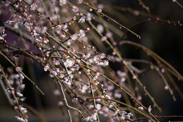 小田原フラワーガーデン【梅の花:黄門枝垂】3