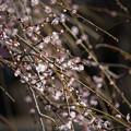 写真: 小田原フラワーガーデン【梅の花:黄門枝垂】3