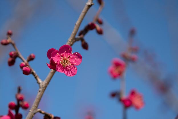 小田原フラワーガーデン【梅の花:紅千鳥】1