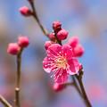 写真: 小田原フラワーガーデン【梅の花:紅千鳥】2