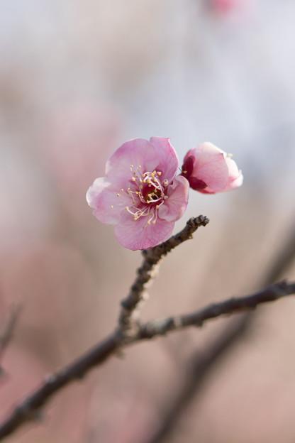 写真: 小田原フラワーガーデン【梅の花:古金欄】2