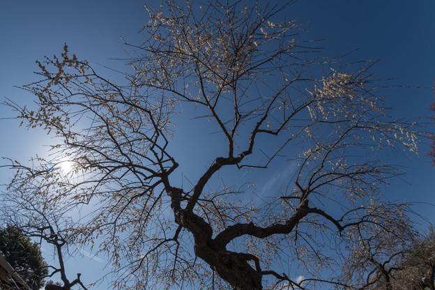 写真: 小田原フラワーガーデン【梅の花:淡路枝垂】2